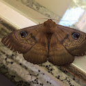 Southern Old Lady Moth