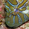 Hyeroglyphic hawkfish
