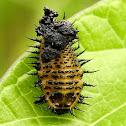 Argus Tortoise Beetle larva