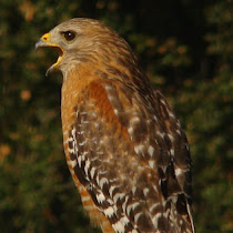 California/Arizona Birds Of Prey