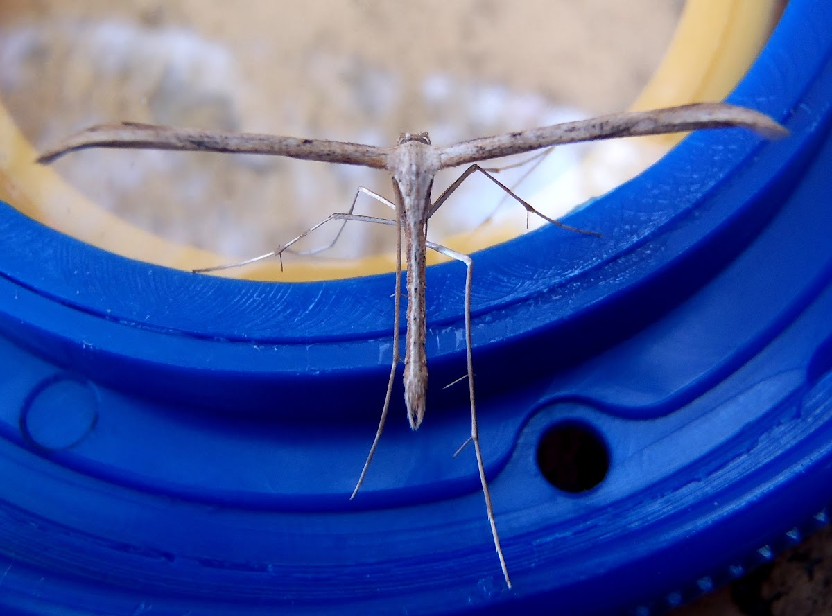 Morning-glory Plume Moth. Polilla pluma