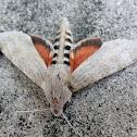 Ello Sphinx Moth