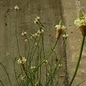 English Plantain