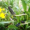 Llantén menor o siete venas. Ribwort plantain