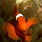 Spine Cheek Anemonefish