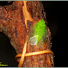 Grainy Planthopper