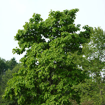 Trees and Shrubs of New Jersey