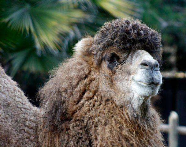 Camello Bactriano / Bactrian Camel