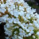 Butterfly Bush- white
