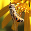 Hover Fly / Drone fly