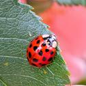 Asian or harlequin ladybug