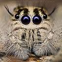 Hyllus (Jumping Spider)