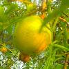 White Pomegranate