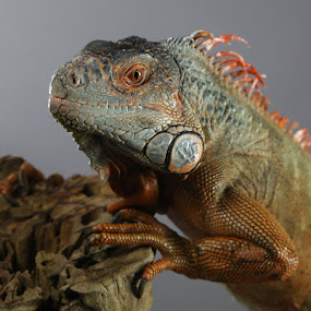 Iquana by Jack Nevitt - Animals Reptiles