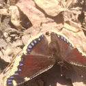 Camberwell beauty / mourning cloak