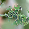 African Caper White Larvae