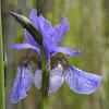 Siberian Iris, Sibirische Schwertlilie
