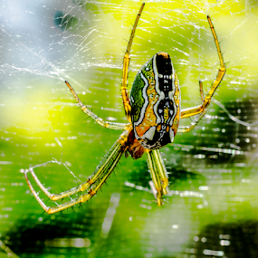 The Green Goblin (Tent Web Spider, Macro Shot), Western Ghats, Karnataka, India by Sam's 1 Shot - Animals Insects & Spiders ( cyrtophora moluccensis, pattern, green, web, spider )