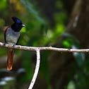 Asian Paradise Flycatcher female
