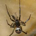 False widow spider (male)
