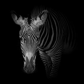 Zebra portrait #2 by Marsilio Casale - Animals Other Mammals ( wind, nature, zebra, portrait, animal, black&white )
