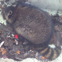 Raccoon, gewone wasbeer (dutch)