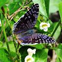 Royal Blue Pansy Butterfly