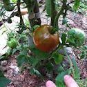 "Bonnie Plants ""Black Prince"" Russian Heirloom Tomato"