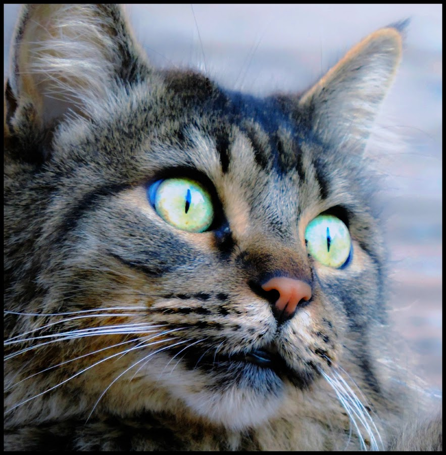 Jesse by Leslie Hunziker - Animals - Cats Portraits ( cats, animals, jesse, maine coon, portraits,  )