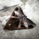 Fasciolated Melipotis Moth