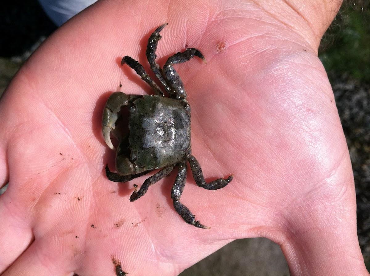 Mud-flat Crab