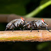 picture-winged flies