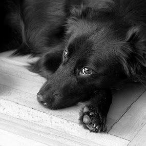 (o) by Brut Carniollus - Animals - Dogs Portraits ( b&w, pet, dog, domestic, black, , #GARYFONGPETS, #SHOWUSYOURPETS, black and white, animal )