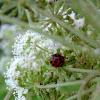 Ladybird?