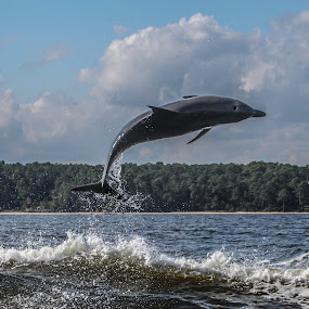 High Jump by Shelley Patterson - Animals Sea Creatures ( water, dolphin, sea, alabama, beach )
