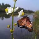 Common Arrowhead flower w/ a Queen butterfly