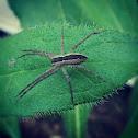 Nusery Web Spider