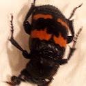 (Nicrophorus marginatus)