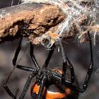 Mediterranean black widow