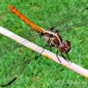 Roseate Skimmer Dragonfly (Female / Male)