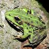 Perez's Frog,Rã comum