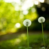 3D dandelion HD live Wallpaper