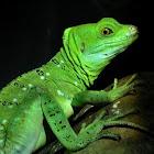 Plumed Basilisk aka Green Basilisk