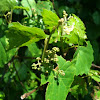 Bird grape