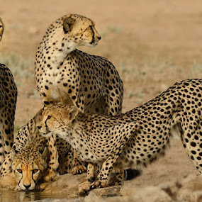 Cheetah Brotherhood by Jan Jacobs - Animals Lions, Tigers & Big Cats
