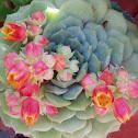 Clair de Lune, Succulent
