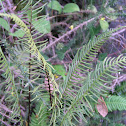 Deer fern or hard fern