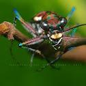 Japanese Tiger Beetle