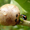 Ladybeetle and scale insect gall