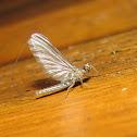 Mayfly sp.